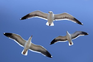 trio-of-seagulls-in-flight-robert-jensen